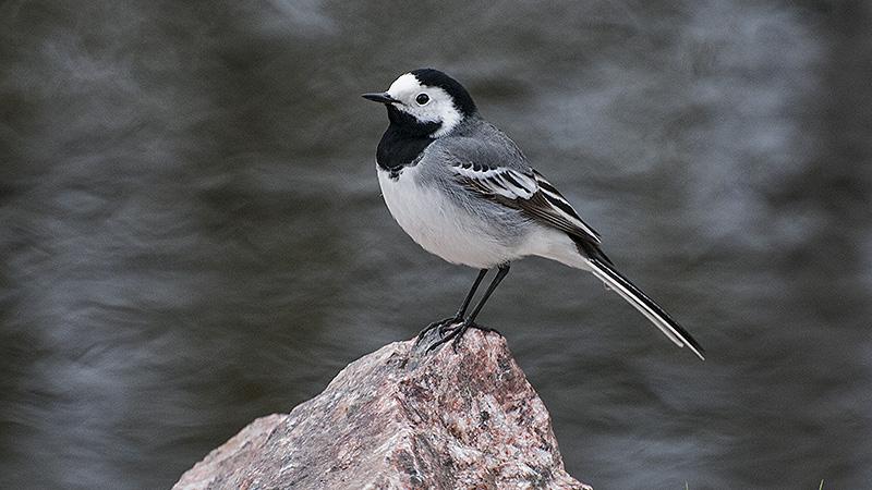 Fågelskådning - här är en sädesärla