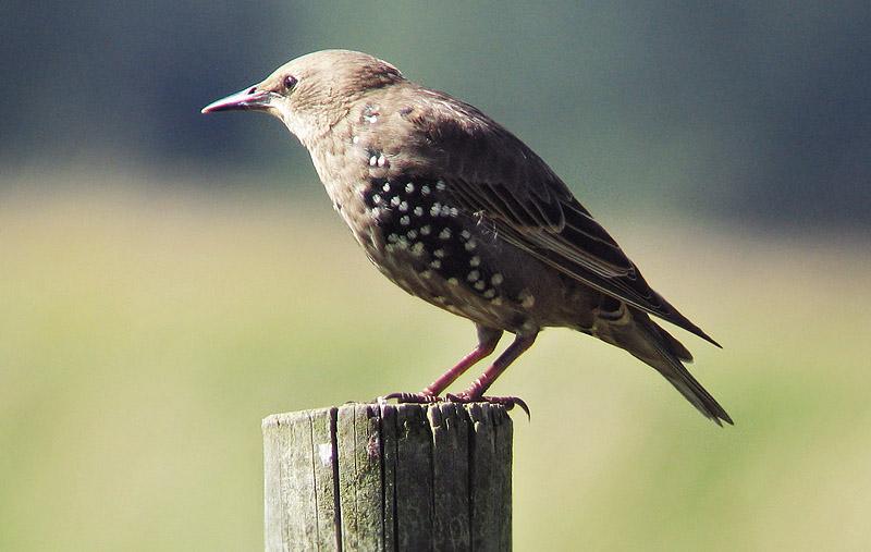 stare fågel