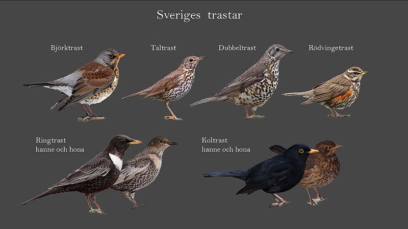 svenska fåglar lista